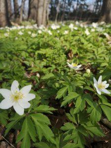 zawilce, kwiaty, Dolina Gościnna
