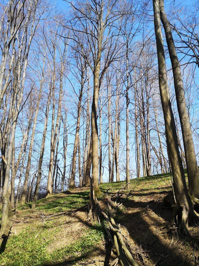 Dolina Gościnna, drzewa, czosnek niedźwiedzi, Bielsko-Biała