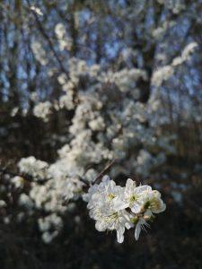 kwiaty, dzikie owocowe drzewa, Dolina Gościnna