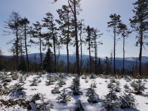 drzewa, śnieg, góry, Beskid Sądecki